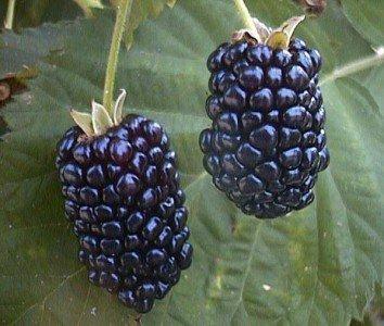 RWS plus gros fruits Giant 10 graines mûres (Blackberry géants)