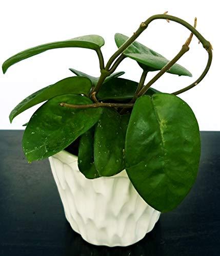 hoya carnosa krinkle in vaso ceramica, pianta vera