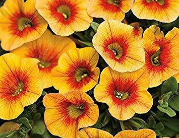 VISTARIC MIX: 100 Pcs Lagerstroemia Indica Graines vivaces Graines de fleurs Crape Courtyard Myrtle 'Natchez Myrtle Fleurs jardin Cache-pot