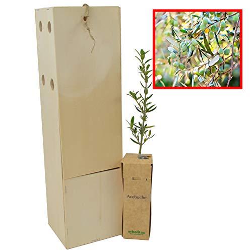 Olivo Silvestre 1 Unidad