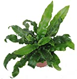 Hirschzungenfarn - Asplenium scolopendrium- winterharter, immergrüner, Farn 12 cm Topf als Kübelpflanze Balkonpflanze, Schattenpflanze Beetpflanze