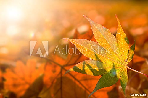 druck-shop24 Wunschmotiv: Kanadischer Amberbaum, Indian Summer Leuchtend buntes Herbstlaub, Liquidambar, Farbrausch #118908285 - Bild auf Forex-Platte - 3:2-60 x 40 cm / 40 x 60 cm (Platte Kanadische)