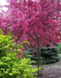 Malus Crab Apple Tree 'Laura' in a 12 Litre