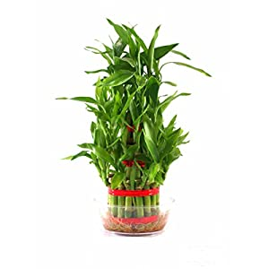 Rolling Nature Lucky Bamboo- 3 Layer