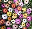 Just Seed - Flower - Mesembryanthemum Harlequin 1500 Seed