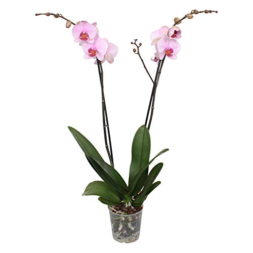 Schmetterlings-Orchidee Elegante, langhaltende Blüten