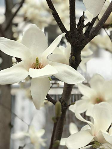 Mon Jardin Secret Graines de Sakura Parfumé, FastDirect Semences 10pcs Rare Fleurs de Cerisier Japonais Bonsaï Décoration Bricolage Jardinage (Sakura C)