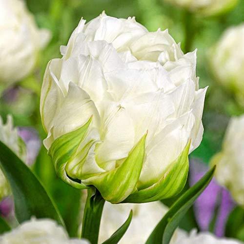 Begorey Garten-100 stück Tulpenzwiebeln Samen Blumenzwiebel Bunte Blumensamen Tulpen Bonsai Winterhart Mehrjährig