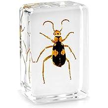 Real Tiger Beetle Pisapapeles de insectos Taxidermia Specimen–Small Block