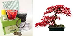 exklusive bonsai anzuchtset f cher ahorn japanische. Black Bedroom Furniture Sets. Home Design Ideas