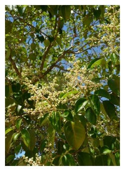 TROPICA - Albero della canfora (Cinnamomum camphora syn. Laurus camphora) - 20 Semi- Albero