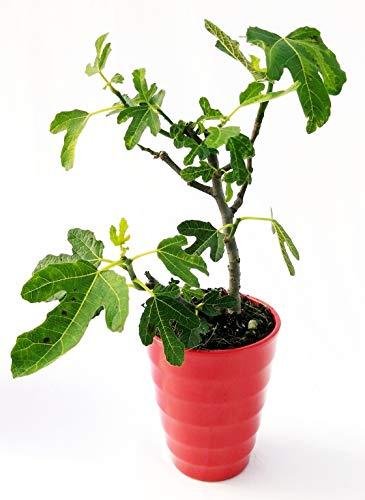 Photo Gallery fico, ficus carica bonsai in vaso ceramica rosso, pianta vera