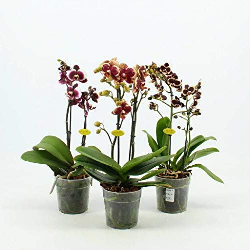 FloraStore MHA25