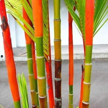 DaDago 100 Unids/Pack Coloridas Semillas De Palmeras Bonsai Semillas De Bambú Home Garden Tree Seeds-Color