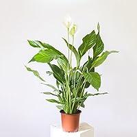 Spathiphyllum / Friedenslilie - 60 cm +/- Scheidenblatt, Blattfahne, Einblatt, tropische zimmerpflanze, Aronstabgewächse (Araceae), raumluftreinigend, dekorativ, edel, effektiver Frischluftfilter