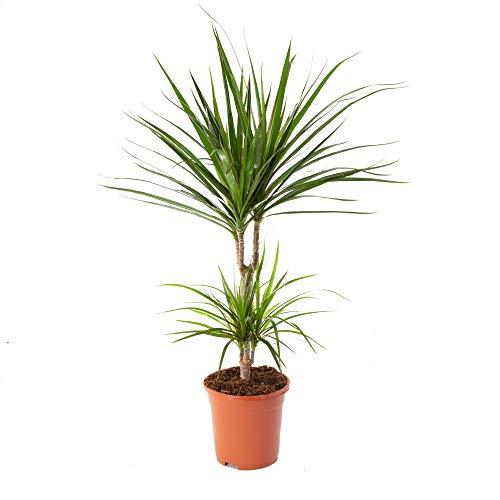 AIRY Drachenbaum Zimmerpflanze, Dracaena marginata (17 cm Topf). Natürlicher Luftreiniger verbessert das Raumklima. Passend zum AIRY Blumentopf