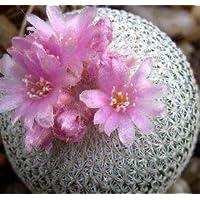 Epithelantha micromeris seeds