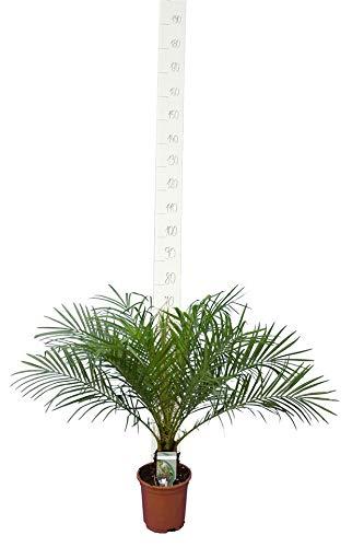 Phoenix roebelenii, Palme, Zwergdattelpalme - Gesamthöhe: 80-100 cm, Stamm 5-10 cm Topf: Ø 19 cm