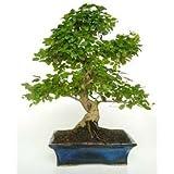 Ficus Retusa 10 años