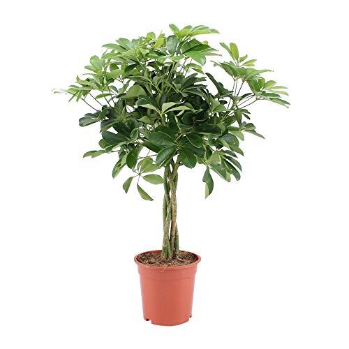 BOTANICLY | Zimmerpflanze - Kleine Strahlenaralie | Höhe: 80 cm | Schefflera Arboricola Nora