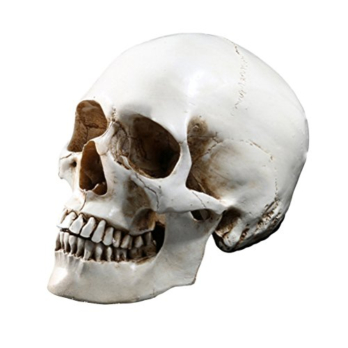 Tinksky Lifesize Human Skull Skeleton Model Replica Resin -