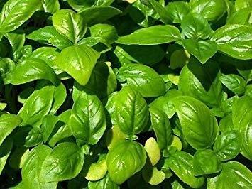 ANVIN Keim Seeds: Genovese Basilikum Frische 150 Samen Samen Garten Groß für Pesto -