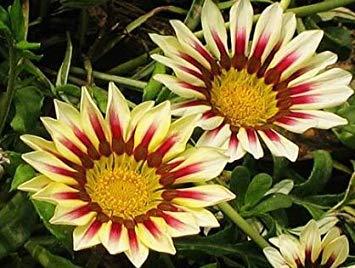 Fash Lady Schokolade: 180PC Blumensamen Gazania Rigens, Bonsai Blumen Gazania Samen, Sonnenblumen Afrika, 9 Sorten Chrysanthemen Samen