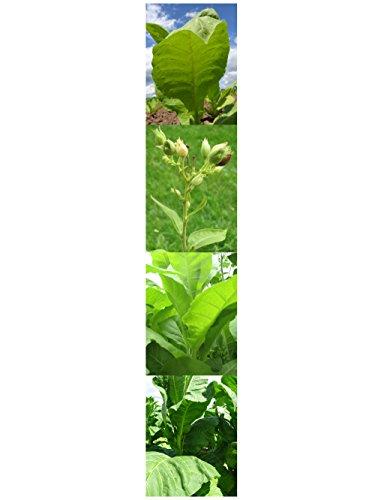 Samen Set: 'Pfeifentabak', 3 verschiedene Tabaksorten
