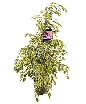 10 pezzi mini ficus banyan tree di alta qualità bonsai foresta dei cespugli in rapida crescita garden home crescita naturale ornamenti tropicale piante: 6