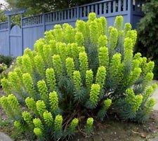 10+ mediterraneo euforbia, euphorbia characias semi di fiori, raro, unico!