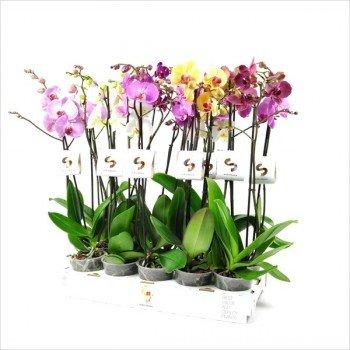 Blumen Senf ML663