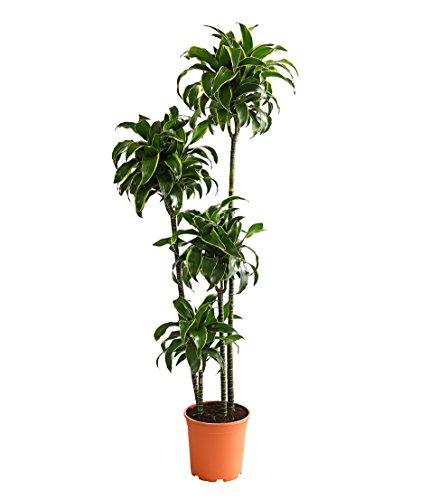 Drachenbaum Buntlaubig