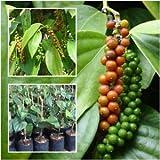 #9: VANATHI HERBS & LIVE PLANTS Black Pepper