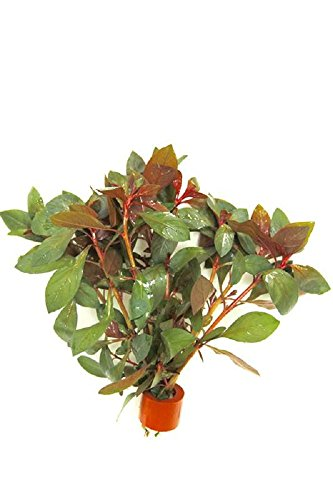 Ludwigia Repens Diamond Red x1 bunch - Live aquarium plant 2
