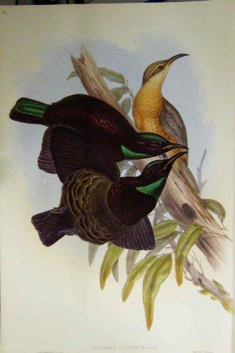 Gould Vogel-prints (Faksimile-Victoria-Gewehr-Vogel Gould Australien 1869)