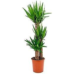 Yucca Palme 100-130 cm im 27 cm Topf große Zimmerpflanze für hellen Standort Yucca elephantipes 1 Pflanze