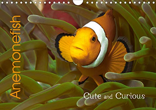 Anemonefish (Wall Calendar 2020 DIN A4 Landscape): Cute and Curious (Monthly calendar, 14 pages ) (Calvendo Animals) (Reef Bekleidung)