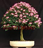 Fash Lady Schokolade: 20 Stück Bonsai Albizia Blumensamen namens Mimosa Silk Tree Seed Seltene Garten Topfpflanzen Rainbow Flowers Pot * DIY Pflanze Geschenk Schokolade