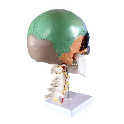 Zoom IMG-3 s24 2301 cranio modello didattico
