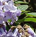 Blauglockenbaum Hulsdonk 125-150cm - Paulownia tomentosa von Baumschule - Du und dein Garten