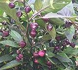 Fash Lady 25+ Einzigartige Süße Brasilianische Cheiro Roxa Organische Pfeffer Samen-D 65