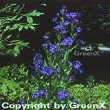 Ochsenzunge Loddon Royalist - Anchusa azurea