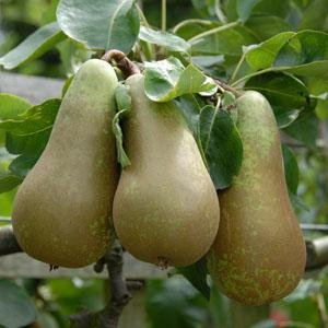 dwarf-patio-fruit-tree-pear-variety-conference-approx-75cms-tall-