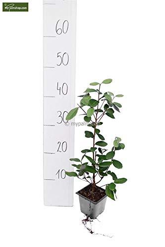 Acca Sellowiana - Brasilianische Guave - Feijoa - Ananas Guave - verschiedene Größen (30-50cm - Topf 9x9 cm)