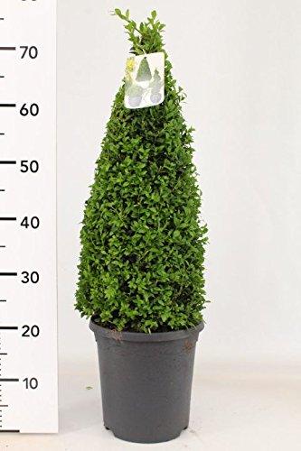 2 Buchsbaum Kegel, Höhe: 70-80 cm, Buxus sempervirens + Dünger