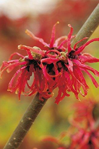 Zaubernuss Diana - Hamamelis intermedia 'Diane' - Rotblühende Züchtung für den Garten, Winterblüher-Pflanze von Garten Schlüter - Pflanzen in Top Qualität