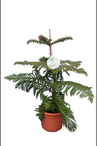 Norfolk Tanne - Zimmertanne - Araucaria Heterophylla - 80-100cm Topf Ø 26cm