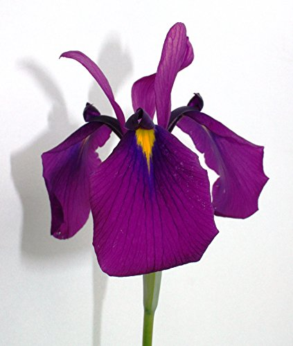 OBI Iris sibirica