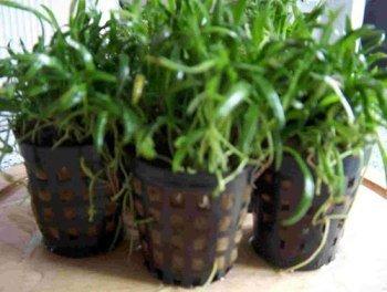 3pots newzeelandgrass, lilaeopsis-novaezelandiae pour Aquarium