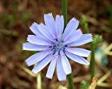Vistaric 100 blaue Chicorée-Blumensamen von Seedville